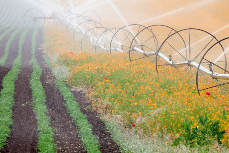 Oregon; Silverton; Field of Siberian Wallflower; irrigation