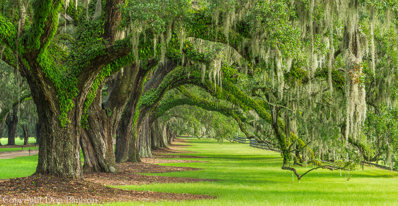 Live Oaks, Boone Hall Plantation, South Carolina. Multi-image, high resolution panorama