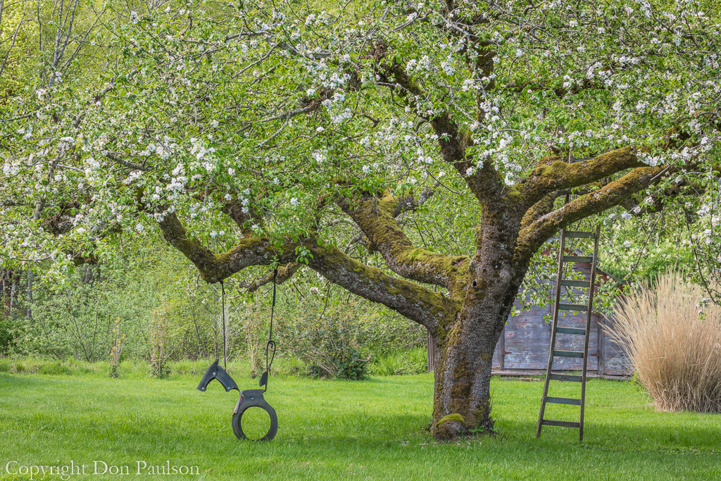 Apple tree with tire swing and ladder