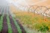 Oregon; Silverton; Field of Siberian Wallflower; irrigation
