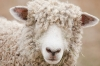 Sheep, Canada; British Columbia; Fort Steele