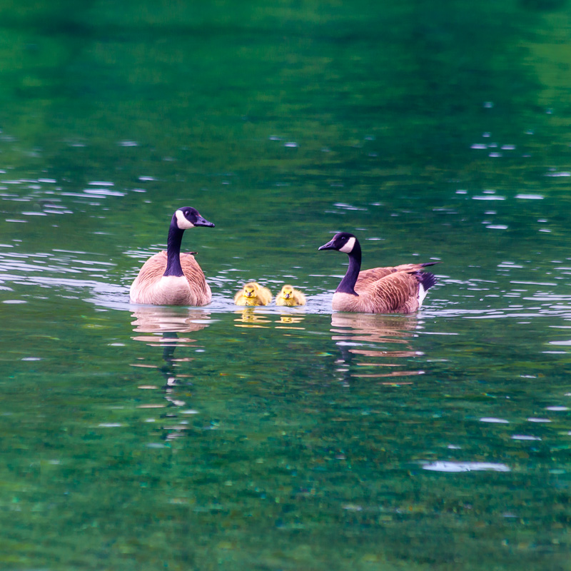 Family of Canada geese, San Juan Islands, Washington