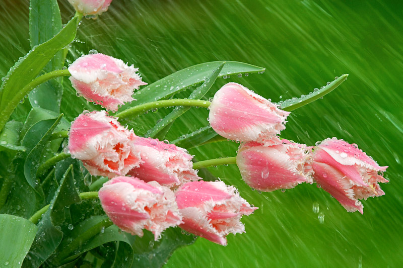 Parrot Tulips in the rain