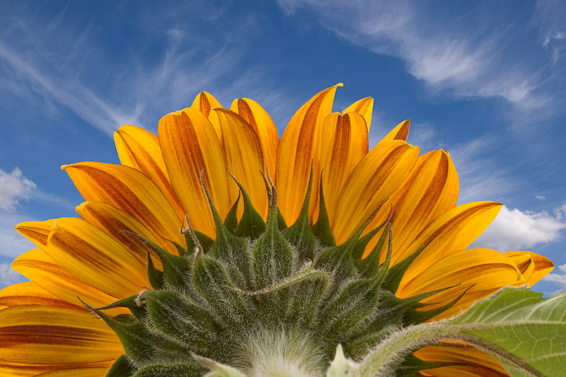 Sunflower photographed from the backside