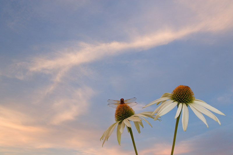 Dragonfly on a cone flower