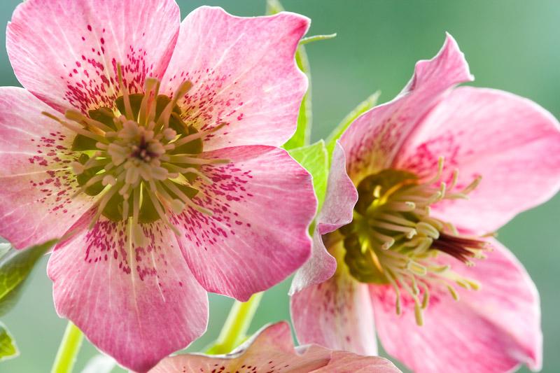 Twin Hellebore Blooms
