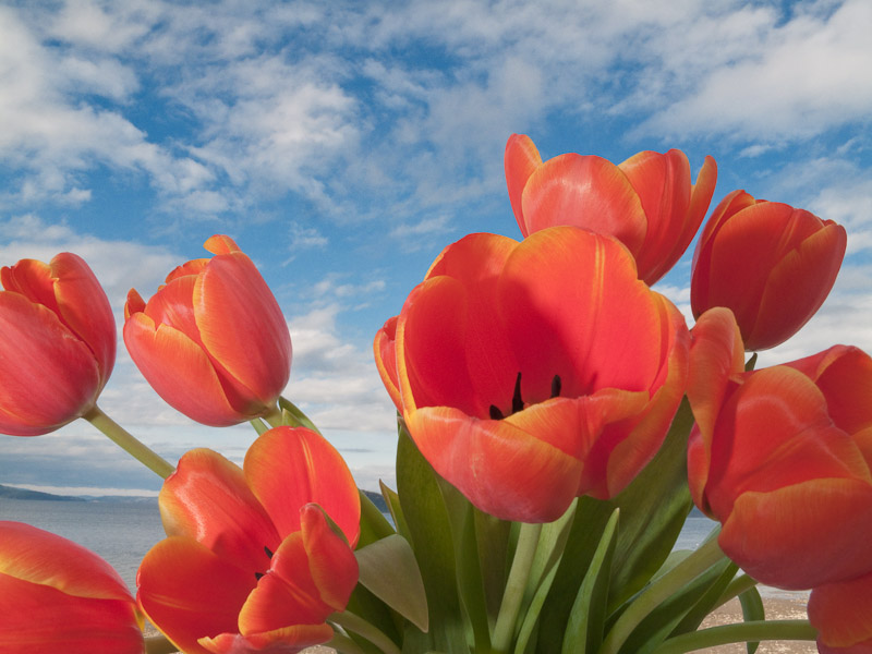 Orange Tulips and Blue Sky