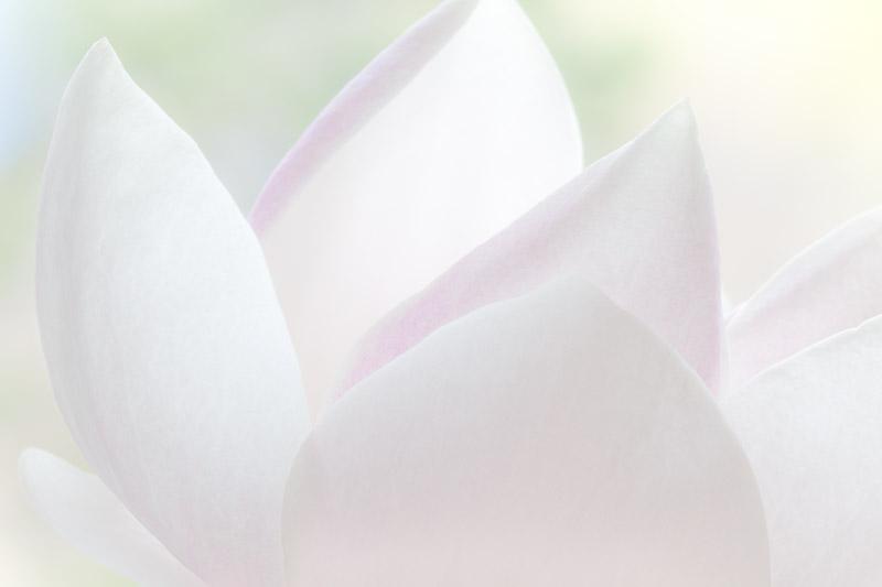 White, Magnolia Blossom