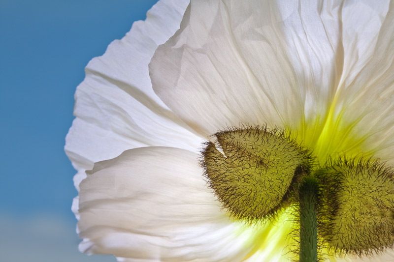 White Poppy, close up