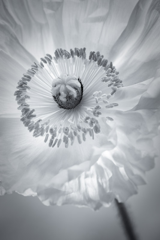 Black & White Poppy