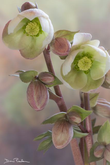 Hellibore blossoms