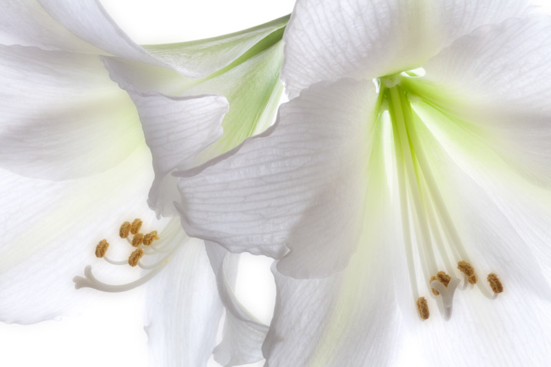 Close up of Amaryllis; Mont Blanc