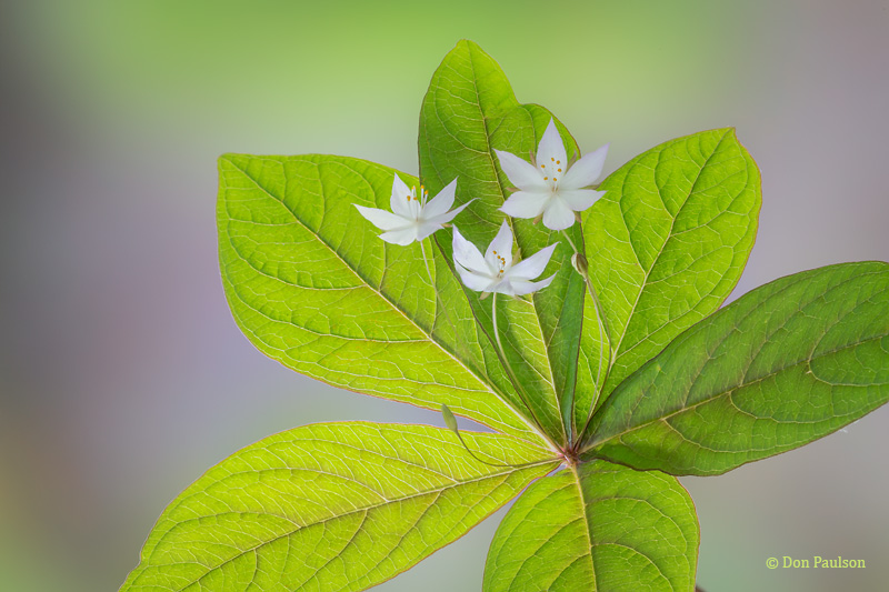 Broad-leaved Starflower, Trientalis latifolia
