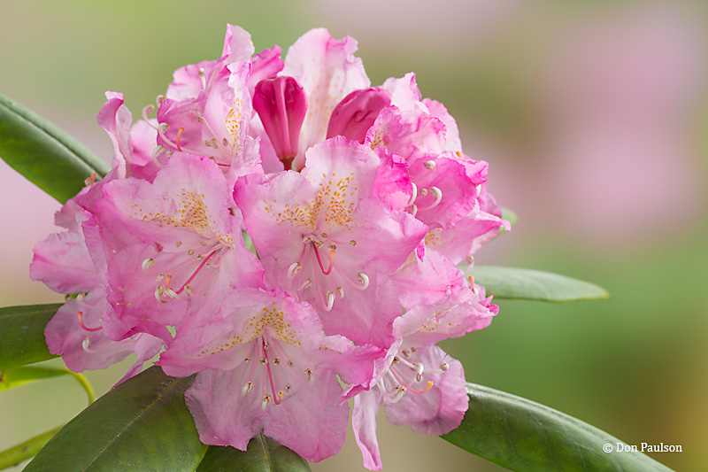 Pacific rhododendron, Rhododendron macrophyllum, Washington State flower