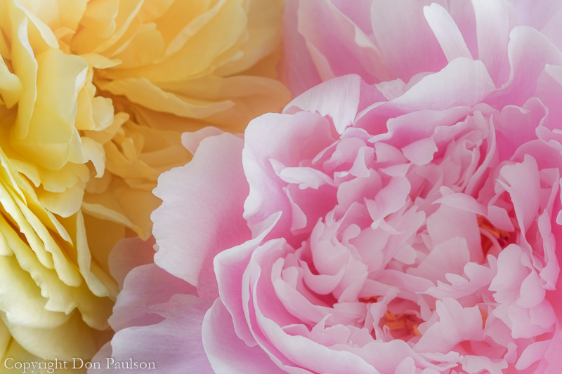 Peony and Rose