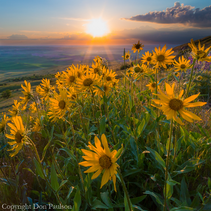 Sunflowers, Palouse Hills