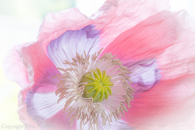 Close up of a poppy