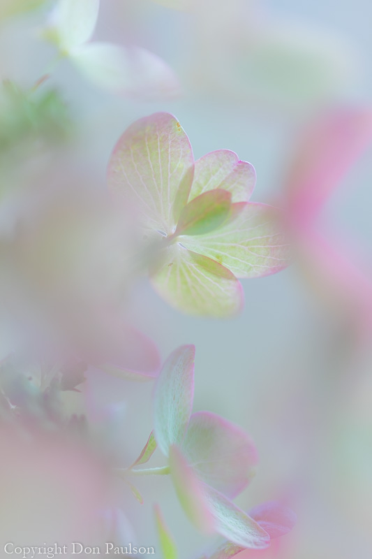 Hydrangea paniculata 'Pink Diamond' vertical