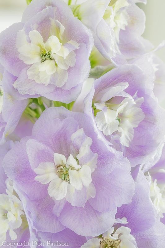 Delphinium blossoms-1 (50.6 Megapixel).