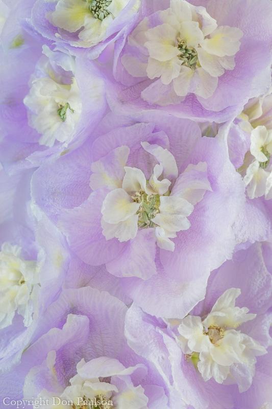 Delphinium blossoms-2 (50.6 Megapixel).