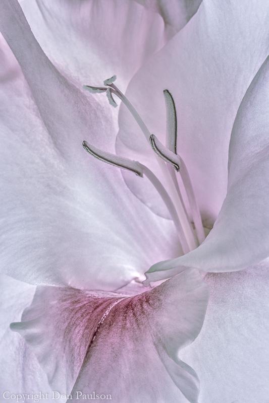Gladiola Blossom