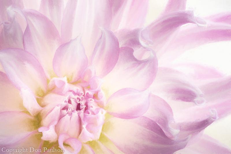 Dahlia Blossom - photographed at 50.6 megapixels