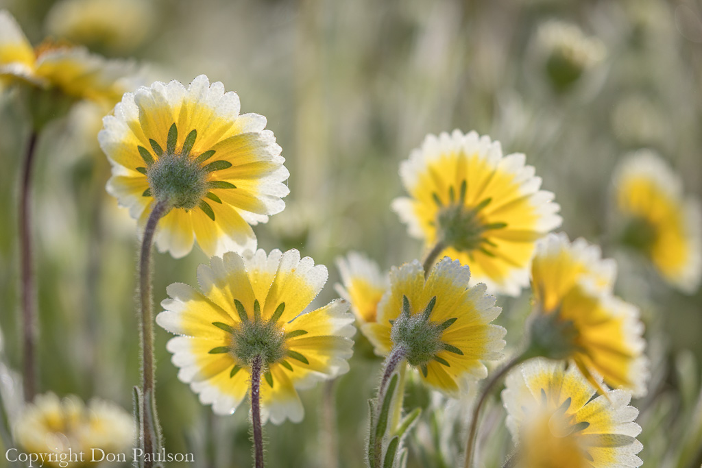 Field of tidy tips - California, Shell Creek