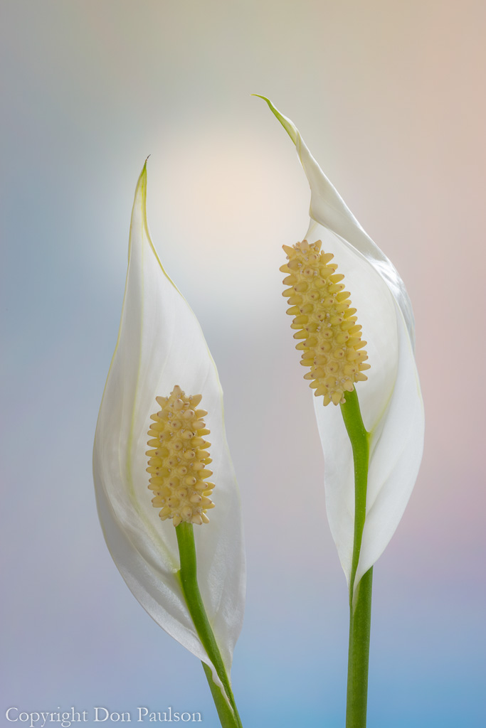 Peace Lily -4