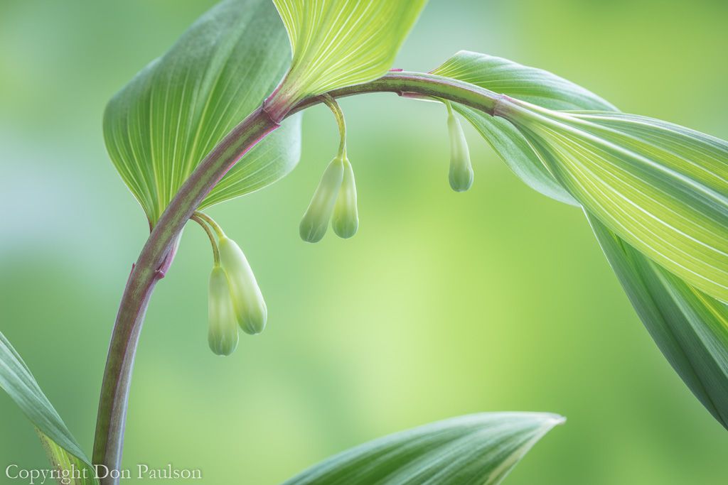 Solomon's seal - Photographed at 50.6 mega pixels