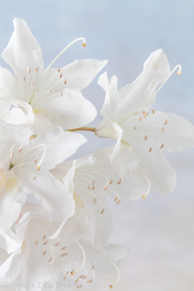 White Rhododendron blossoms-1