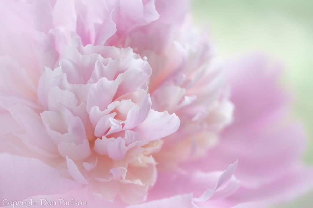 Pink peony blossom-1