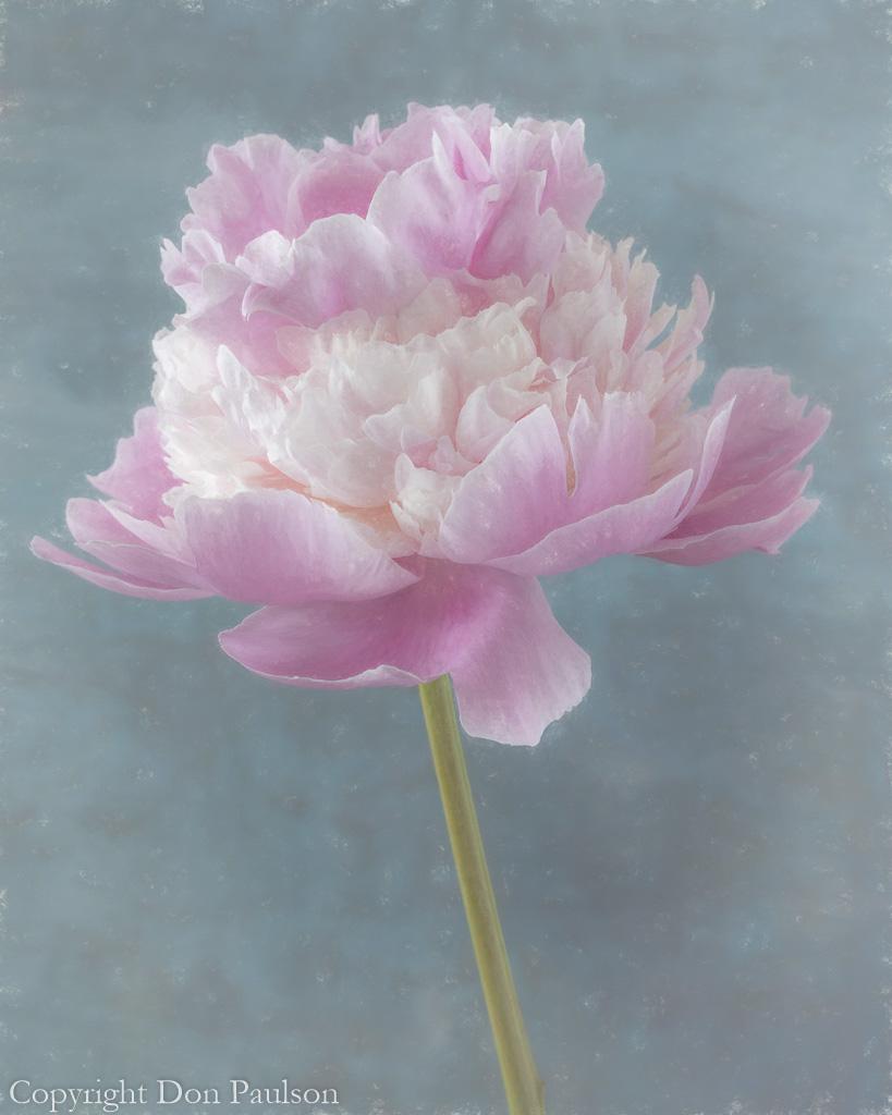 Pink peony blossom-2