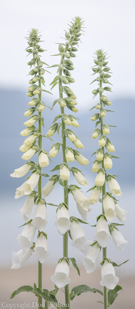 Foxglove (digitalis purpurea) blossoms