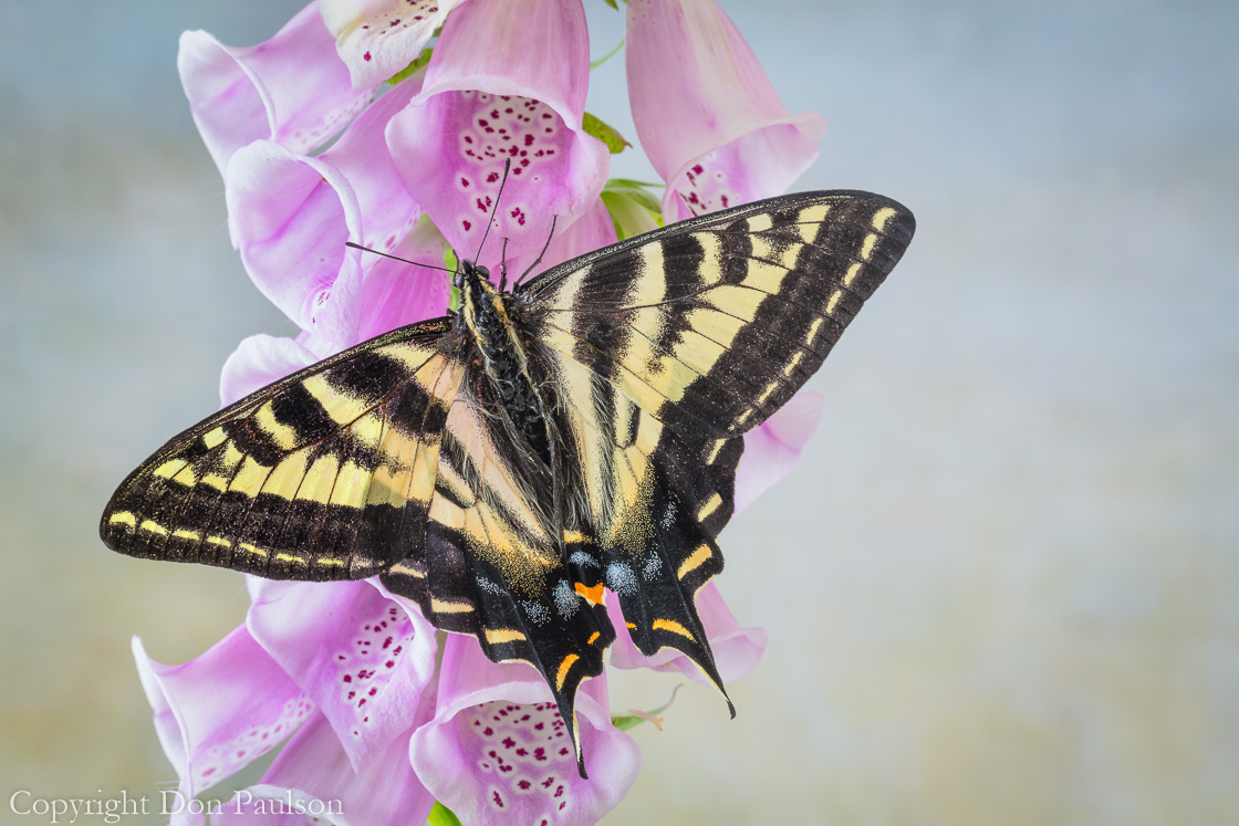 Tiger swallowtail butterfly on foxglove -2