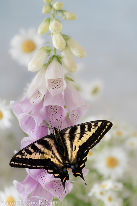 Tiger swallowtail butterfly on foxglove -1