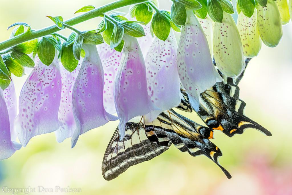 Tiger swallowtail on foxglove-3