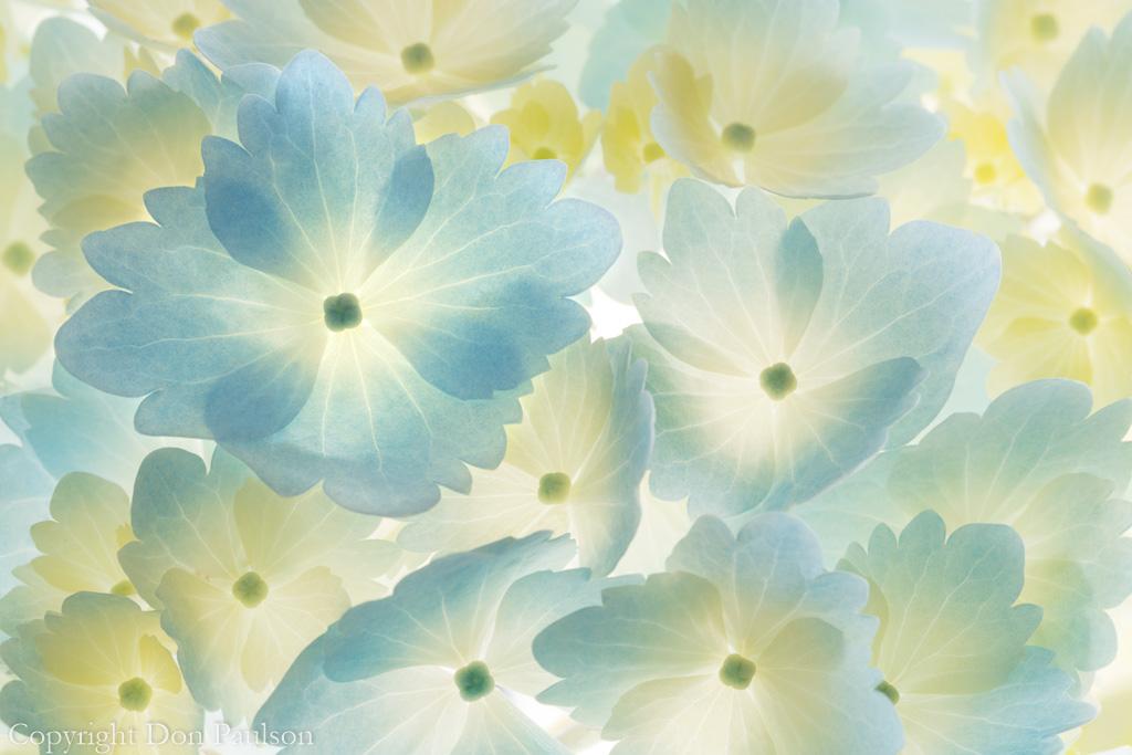 Hydrangea Blossoms - Horizontal - 50.6 mp