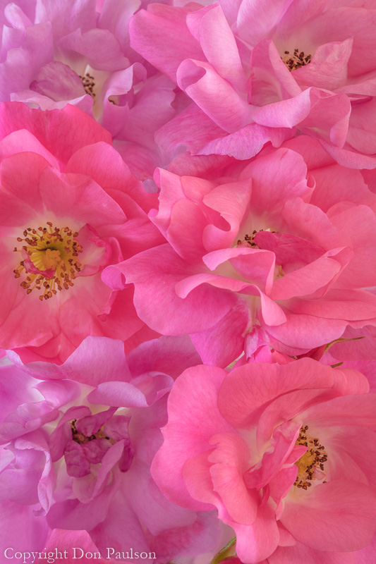 Pink Roses - 50.6 mp