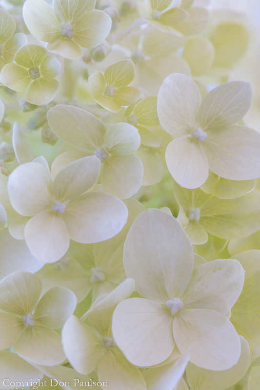 Lime Light Hydrangea Blossoms- 50.6 mp