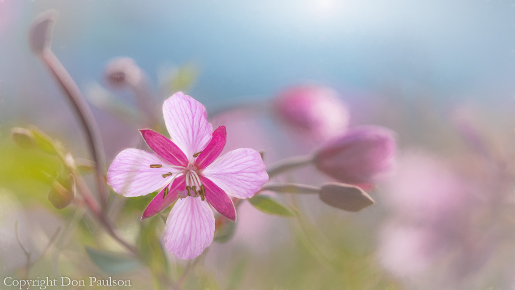 River beauty ( Epilobium latifolium)