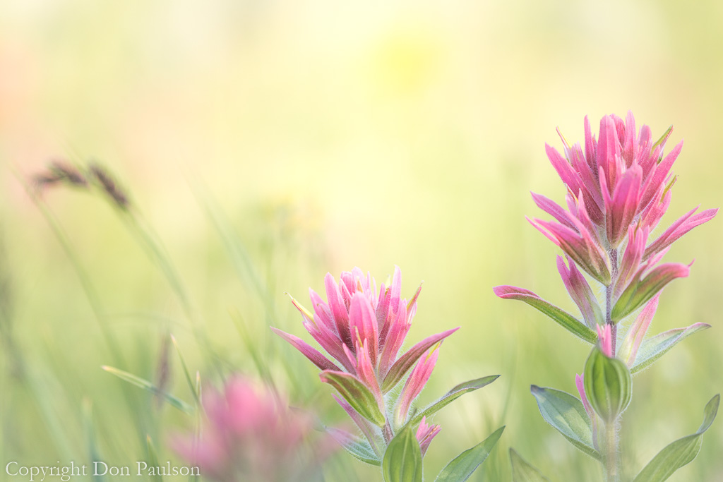 Magenta Indian Paintbrush (horizontal)