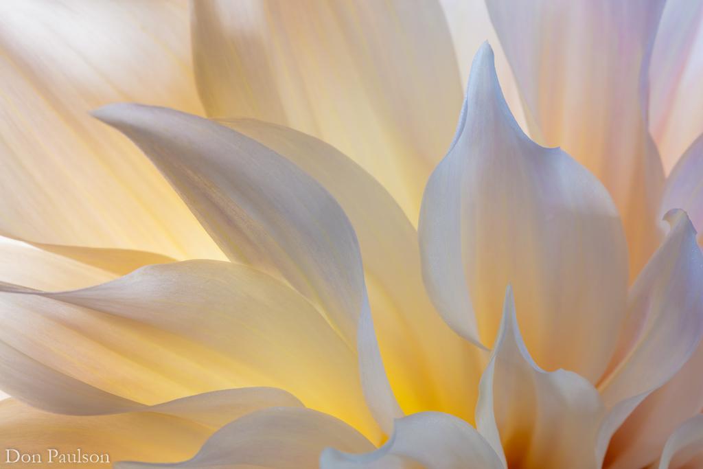 Dahlia blossom petals - 50.6 mega pixel image