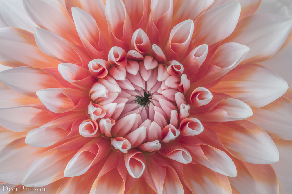 Orange Dahlia blossom - 50.6 mega pixel image