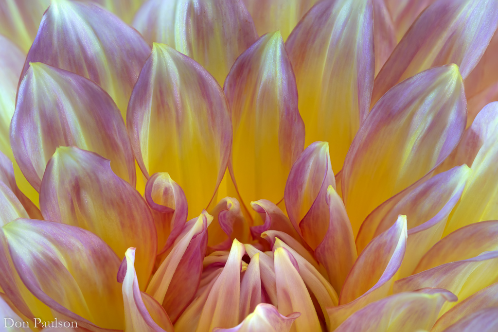 Dahlia blossom detail - 50.6 mega pixel image, focus stacked