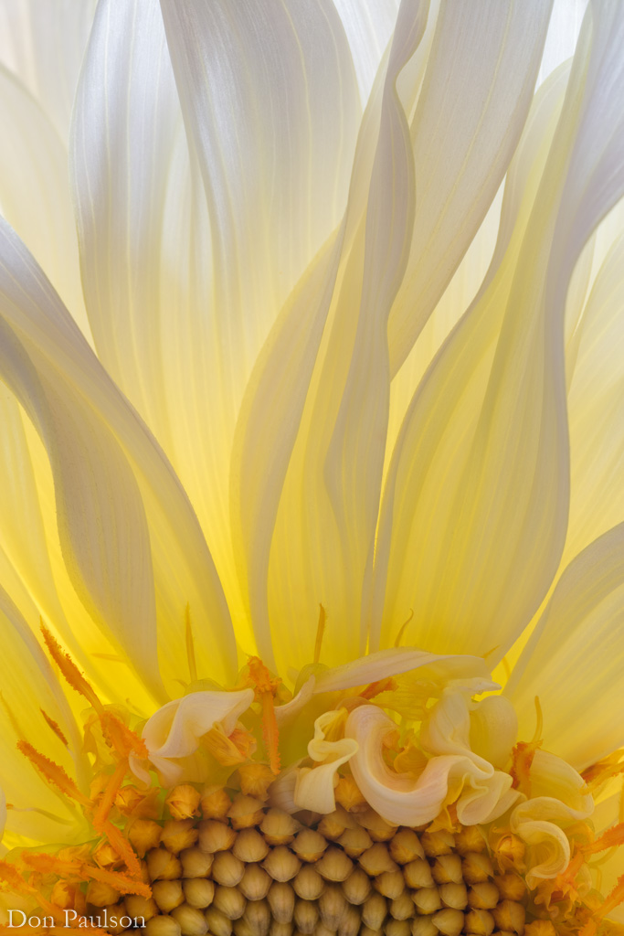 Backlit Hollyhill Moonsong Dahlia Blossom - vertical