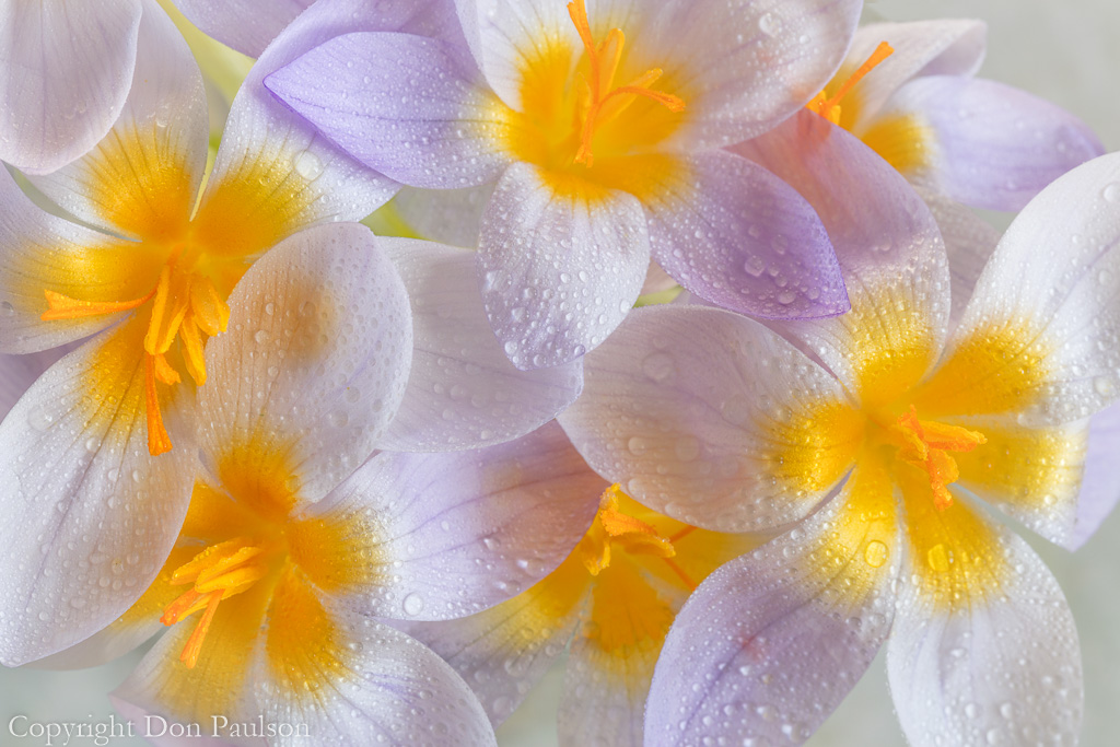 Crocus blooms- dew covered