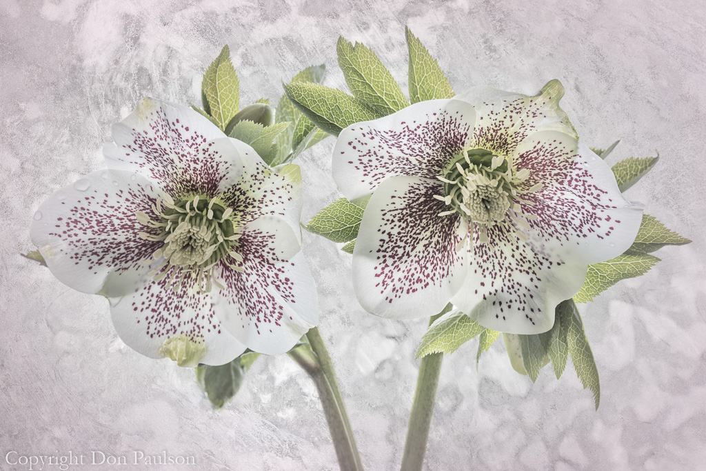 Hellebore Blossoms - Color