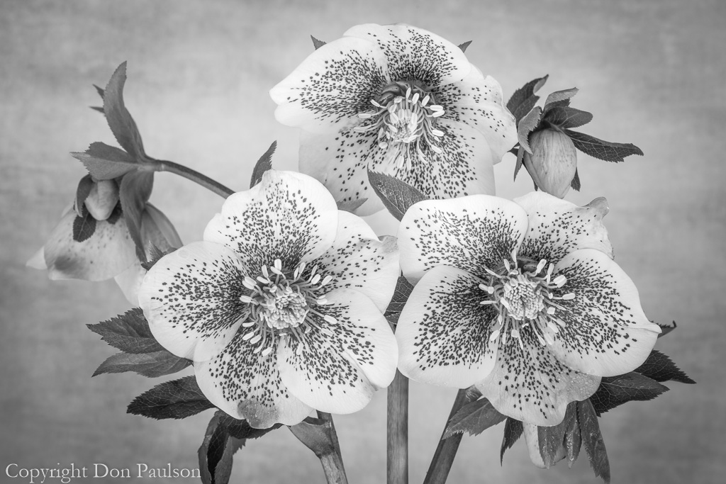 Hellebore Blossoms - Black & White
