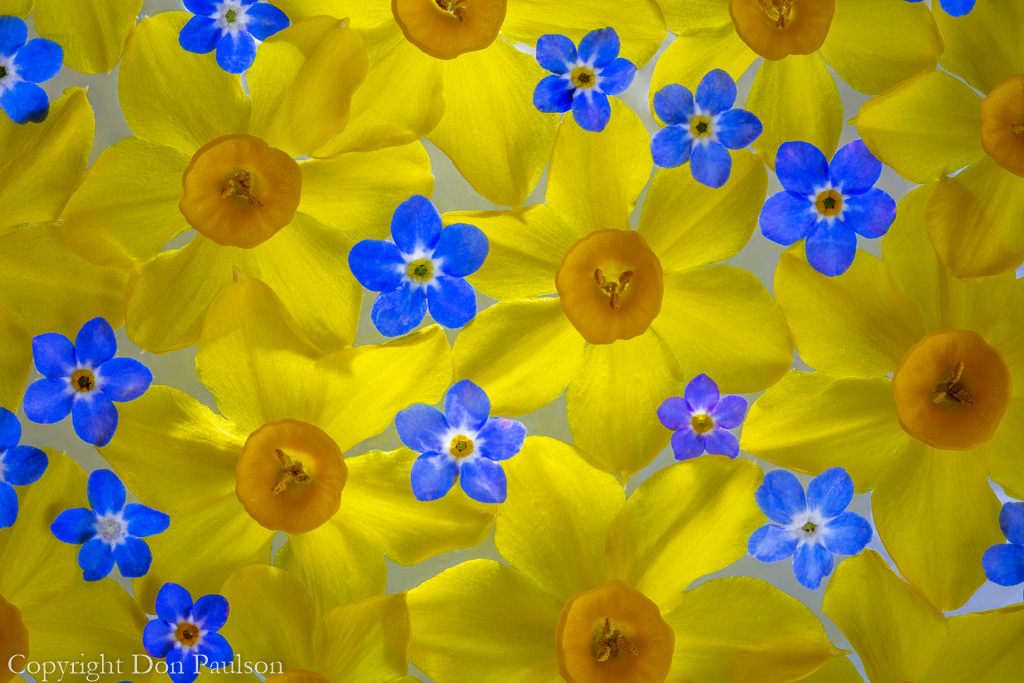 Narcissus and Forget-me-not
