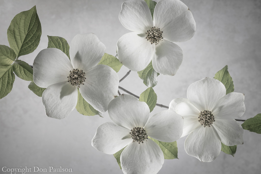 Pacific Dogwood blossom